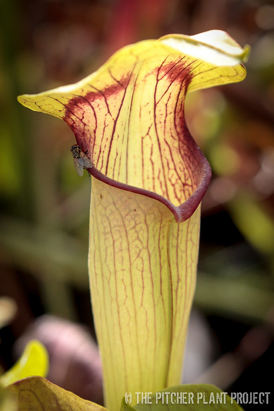"Sarracenia alata ""Red Mustache"""