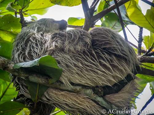 Sloth Costa Rica Wildlife