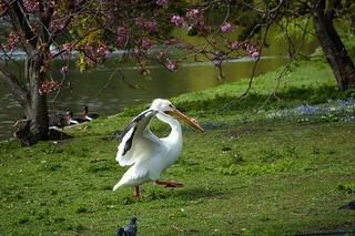 Pélican à St Jame's Park
