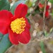 Red Camellia Flowers - 6
