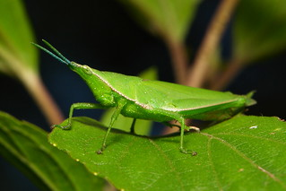 Vegetable Grasshopper (Atractomorpha sp., Pyrgomorphidae)