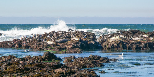 Monterey Seals and Surf by Ed Suominen