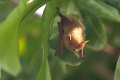 葉片上的黃金蝙蝠。(攝影:張博鈞)