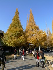 fall foliage of Ginkgo at Jungumae