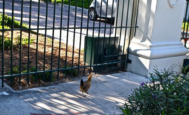 Key West, Florida- Bike Tour - wild chickens