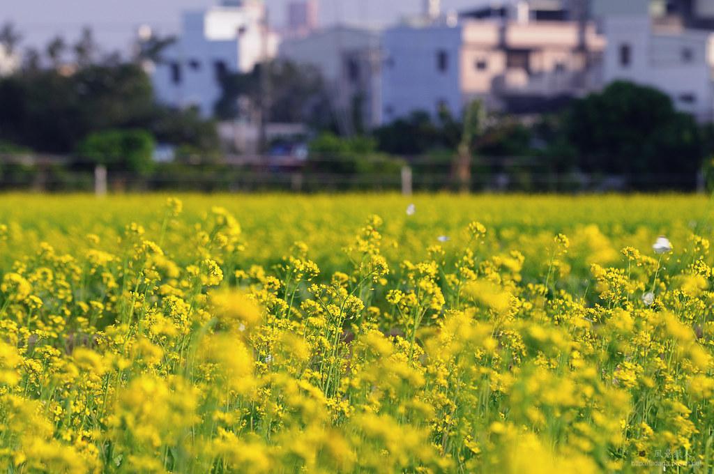 黃花、舞蝶、小鎮