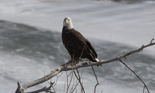 Yellowstone River Eagle