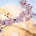 Plum blossoms by Laurence Vagner