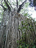 Curtain Fig Tree by Dave Krueper