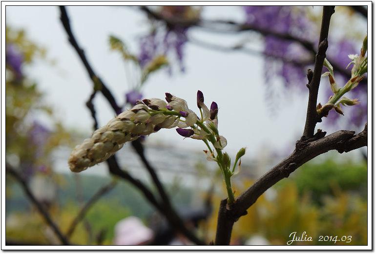 紫藤、老梅 (5)