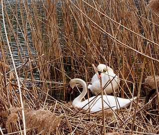 Swans Nesting, Oakland Pond, Bayside, New York City
