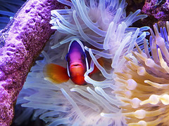 Memphis Zoo 08-31-2016 - Clown Fish and Anenome 4