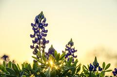 Bluebonnets at Sunset 3