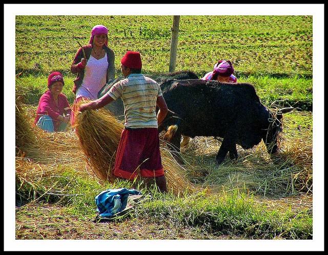 NEPAL, Auf dem Weg nach Pokhara, Ernte,  16054/8315
