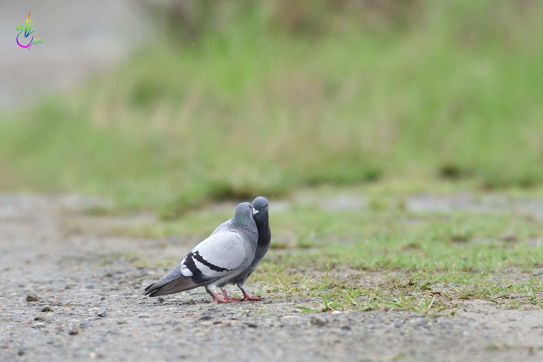 Pigeon_1780