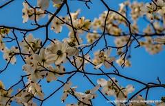 Dogwood Spring