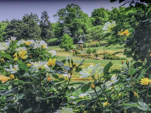 park gazebo flowers yellow roses spring landscape saturdaylandscape7dwf 7dwf