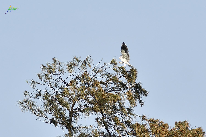 Black-winged_Kite_5630