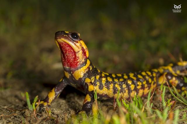 Salamandra-de-pintas-amarelas, Fire salamander (Salamandra salamandra)