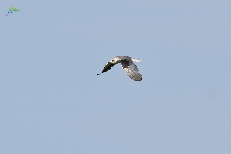 Black-winged_Kite_5626