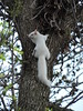 Albino Squirrel In The Tree (Explore)