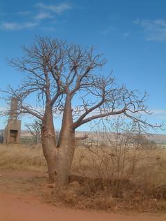2010-7-25 boab tree