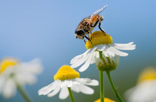 Honeybee take rest on daisy