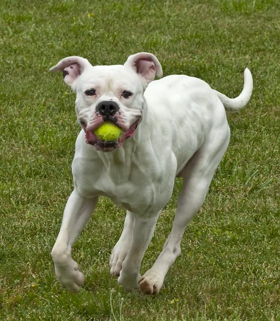 Mixed breed shelter dog; boxer, American Bulldog | dog ...
