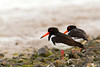 Oyster-catchers in Norfolk