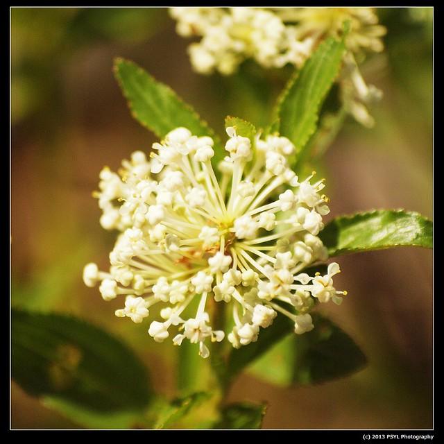 2013-06-02-P6022877-New Jersey Tea (Ceanothus americanus)