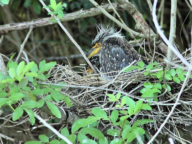 Yellow-crowned Night-Heron nest 22 nestlings 20130607