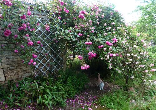 tous ces rosiers que l'on aime - floraisons 9033995109_7ed097c1f0