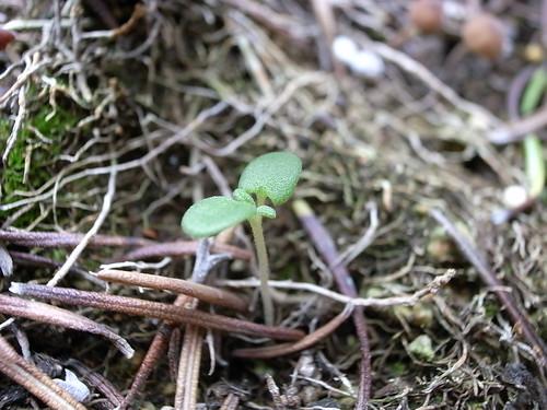 ローズマリーの芽