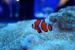 coral reef, anemone fish, fish, coral reef fish, marine biology, macro photography, underwater, blue,