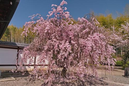 【写真】桜 : 勧修寺