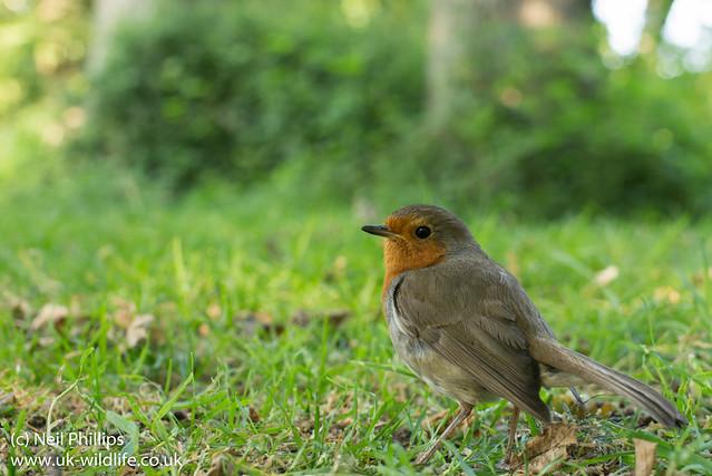 Robin wide angle Erithacus rubecula-3