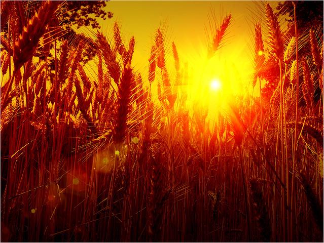Sunset in the cornfields