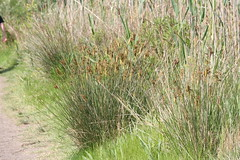 Juncaceae