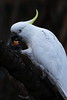 Sulphur_crested_Cockatoo_1C0A5670