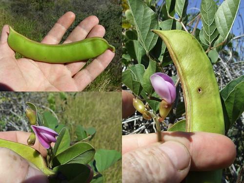 Fabaceae>Canavalia rosea? Beach Bean DSCF5481comp