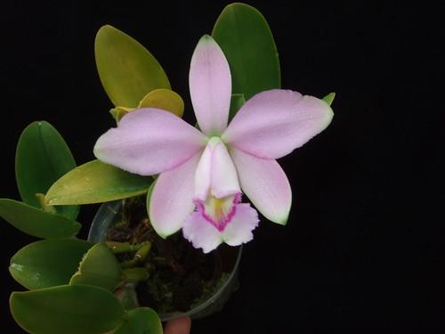 Cattleya violacea rosea anelata