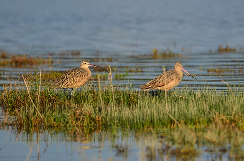 <p><i>Numenius americanus</i> & <i>Limosa fedoa</i>, Scolopacidae<br /> Blackie Spit, Surrey, British Columbia, Canada<br /> Nikon D5100, 70-300 mm f/4.5-5.6<br /> September 1, 2013</p>