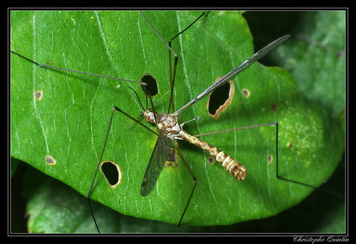 Tipula (Mediotipula) sarajevensis