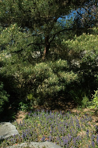 Blue flowers, stones, trees with a patch of clear blue sky, Kabota American Japanese garden, Tukwila, Washington, USA by Wonderlane