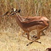 Impala, Aepyceros melampus running at Borakalalo National Park, South Africa - team racing
