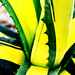 Small photo of Agave americana