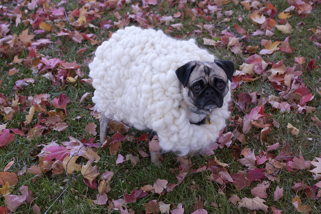 Koko the sheep