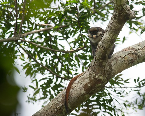 red tailed C. ascanius in camp