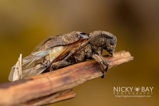 Longhorn Beetle (Cerambycidae) - DSC_9991