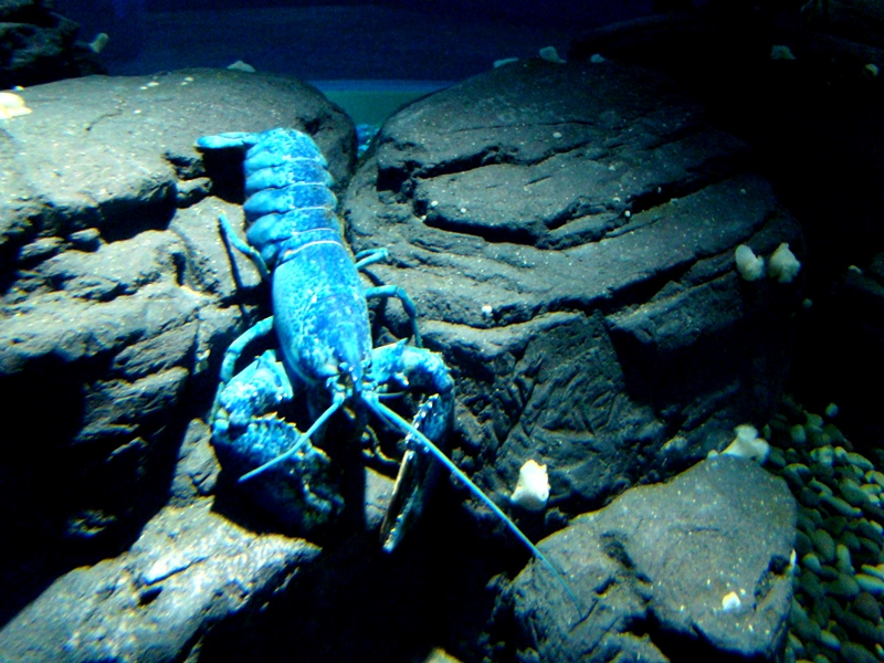 Ripley's Aquarium blue lobster